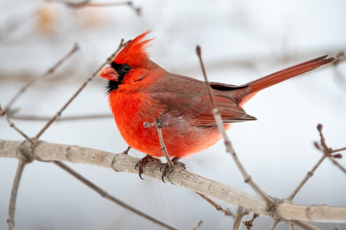 Photo of Northern Cardinal Perched on Brown Tree Branch