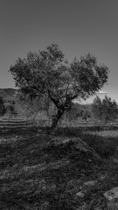 Free stock photo of greece, olive tree, vintage