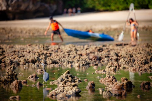 Free stock photo of beach, grey heron, krabi