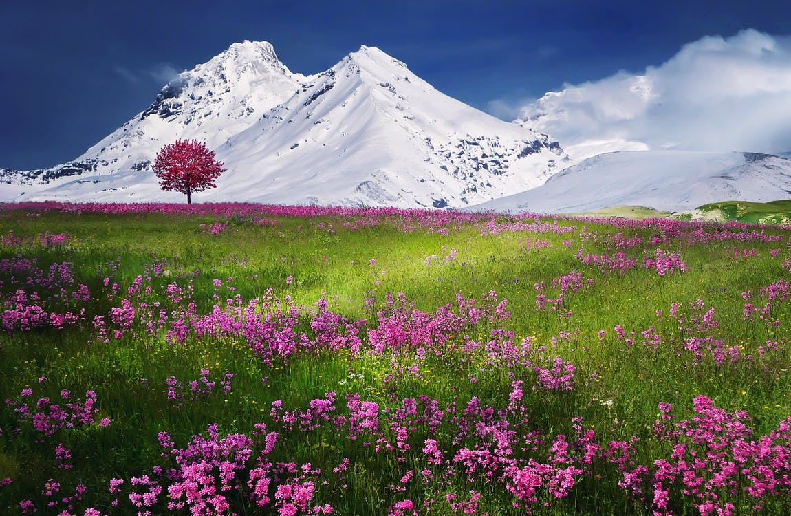Pink Flowers Near Mountain Covered by Snow