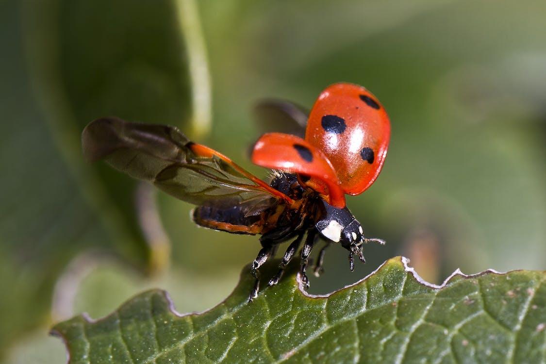 Beetle, Жук, комаха