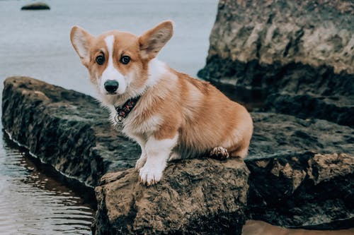 Brown and White Corgi Puppy Sitting on Brown Rock Near Body of Water