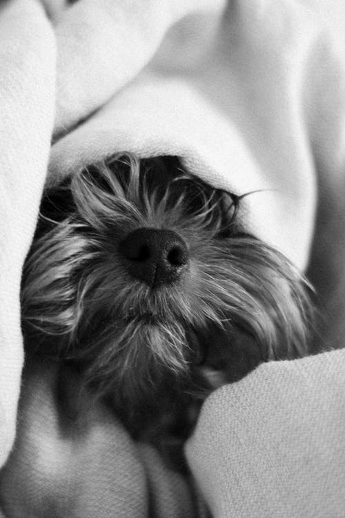 Black and white muzzle with wet nose of purebred Yorkshire Terrier wrapped in blanket