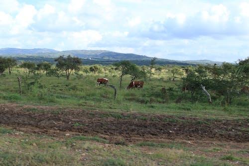Free stock photo of Africa Farming, cattle, hills, Kenya