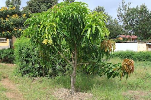 Free stock photo of africa, farming, Kenya, Mango seedling
