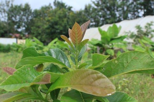 Free stock photo of mango leaves, Mango seedling