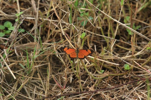 Free stock photo of African Butterfly, dry grass, orange butterfly