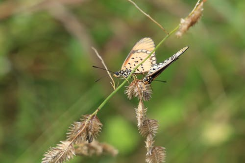 Free stock photo of blade of grass, butterflies, Cream Butterfly, mating