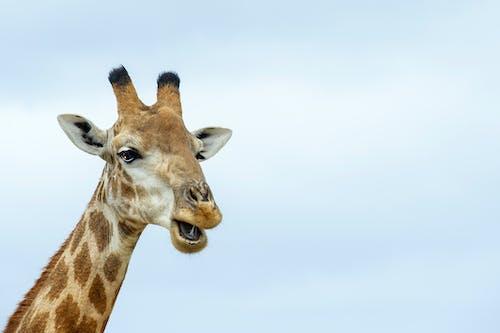 Gratis stockfoto met giraffe, ruig, wild dier