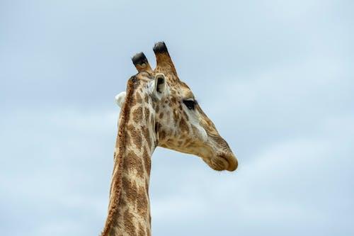Gratis stockfoto met beesten, giraffe, ruig