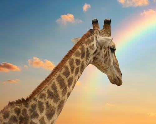 Gratis stockfoto met giraffe, natuur, wild dier