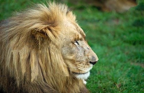 Gratis stockfoto met leeuw, roofdier, ruig, wild dier