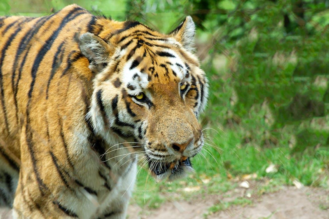 natuur, ruig, tijger