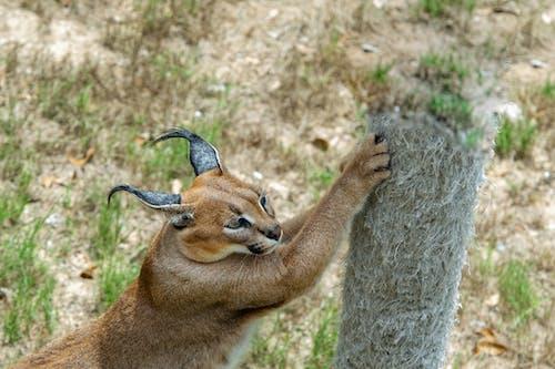 Foto d'estoc gratuïta de animal salvatge, caracul, salvatge, strech