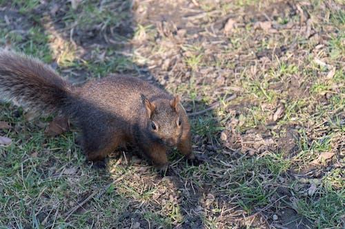 Ingyenes stockfotó mókus témában