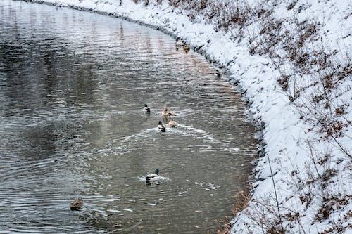 Ingyenes stockfotó hó, kacsák, tó témában