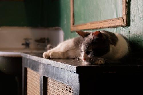 Ingyenes stockfotó macska, macska alszik témában