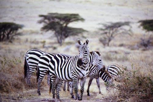 Základová fotografie zdarma na téma býložravec, fotografie divoké přírody, fotografování zvířat, louky