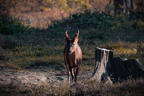 Brown Deer on Brown Field