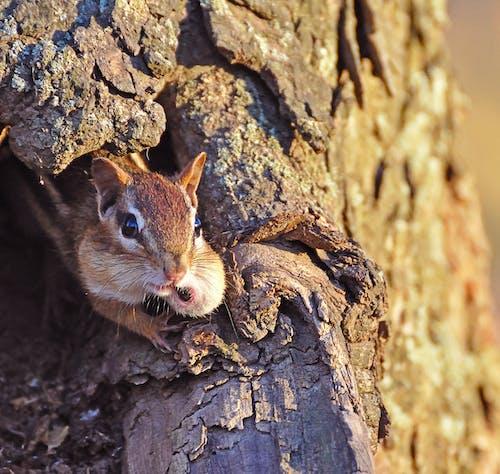 Free stock photo of chipmunk, cute, tree