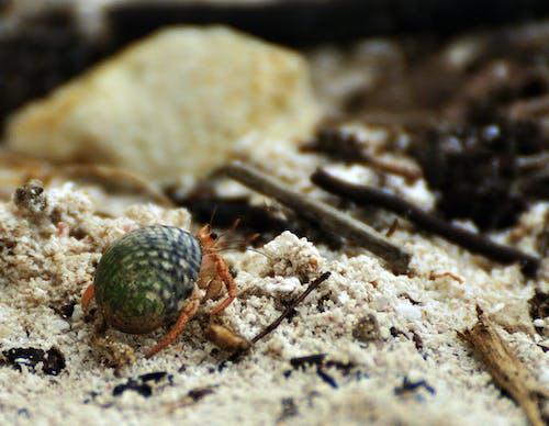 Free stock photo of beach, hermit crab, macro