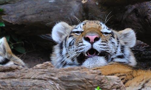 Free stock photo of sleep, yawn, zoo