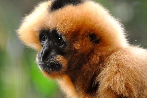 Free stock photo of monkey, orange, portrait