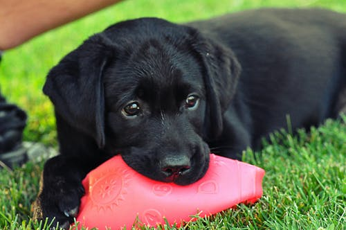 Free stock photo of black, play, puppy