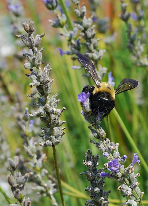Free stock photo of bee, bumble bee, lavender