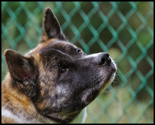 Free stock photo of akita, dog, headshot