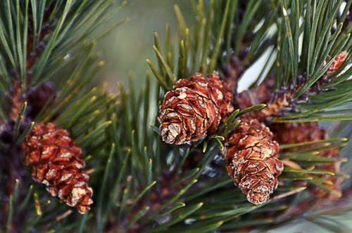 Free stock photo of macro, pincone, pinetree