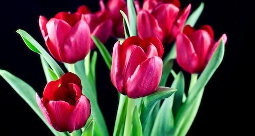 Free stock photo of flower, tulip