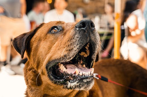 Free stock photo of animal, brown, canine