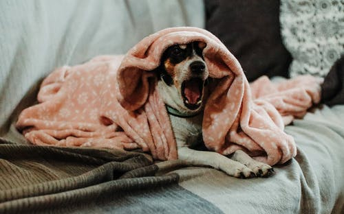 Free stock photo of blanket, couch, cozy, dog