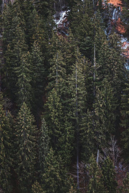 Photo of Green Pine Trees