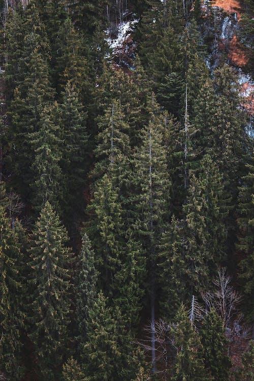 Ingyenes stockfotó erdő, erdő háttér, fák, fenyőfák témában