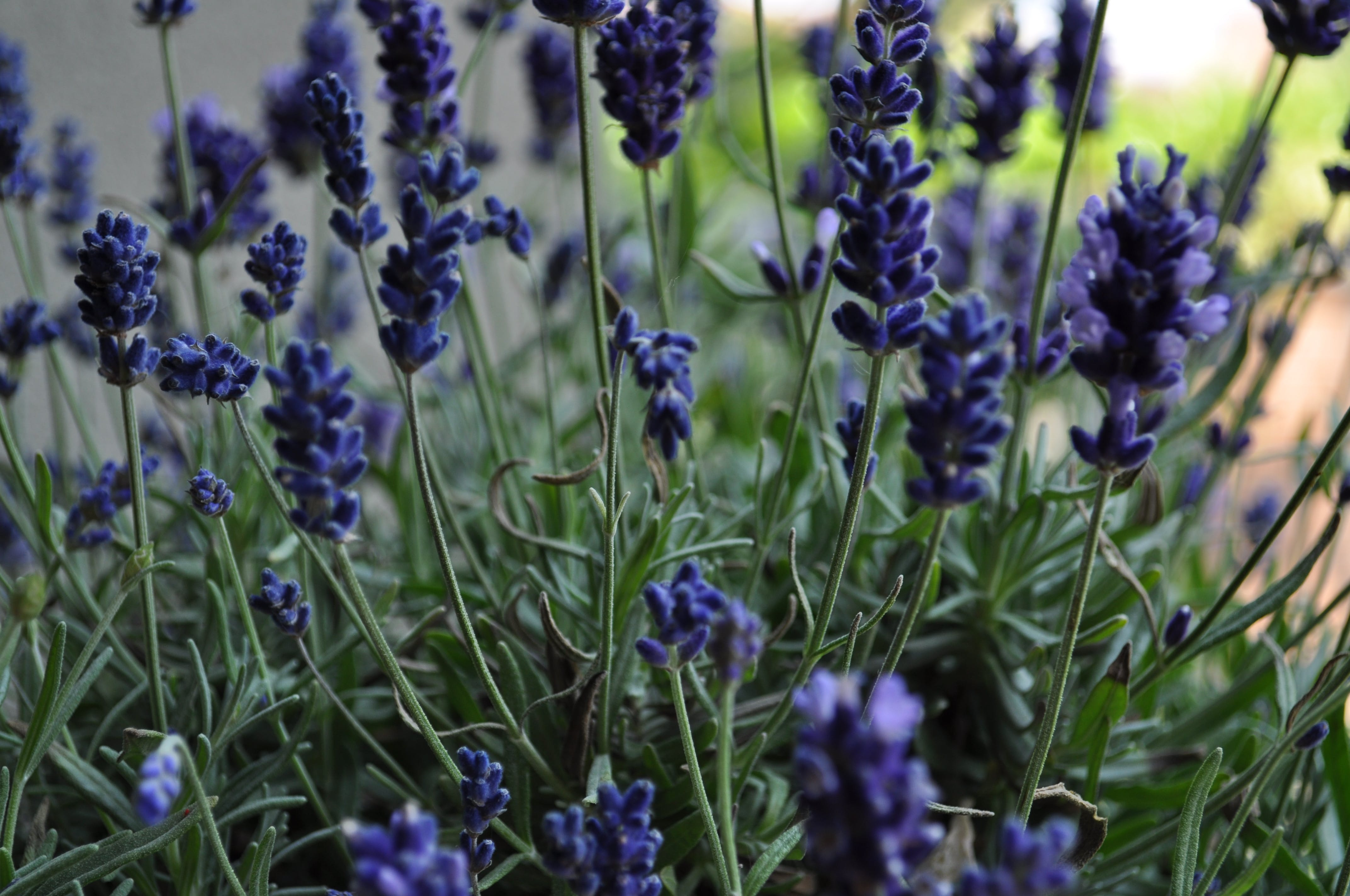 Free stock photo of flowers, lavender, spring