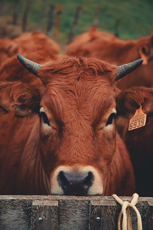 Бесплатное стоковое фото с голова животного, дневной свет, домашний, домашний скот