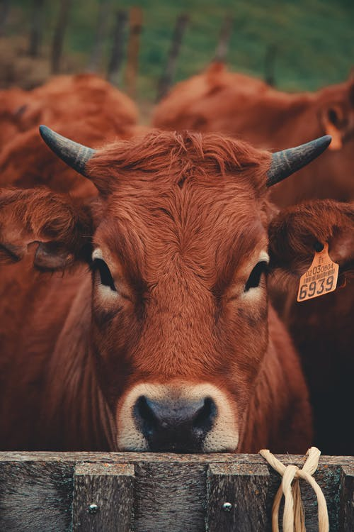 Selective Focus Photo Of A Brown Cow