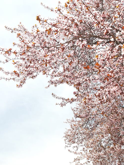 Photo of Cherry Blossoms