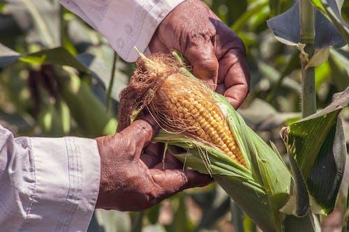 Ingyenes stockfotó aratás, búzatábla, colombia témában