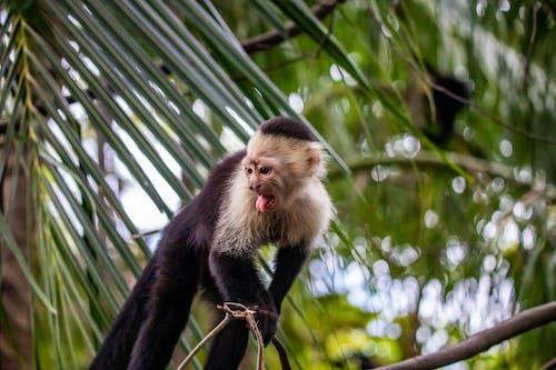Gratis arkivbilde med apekatt, capuccino ape, villdyr, vilt dyr