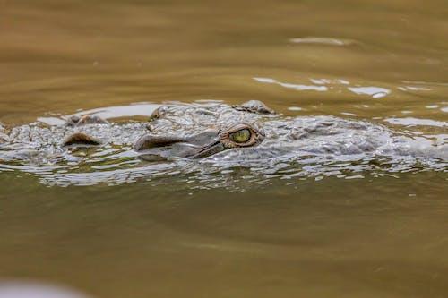 Green Eye Crocodile on Lake