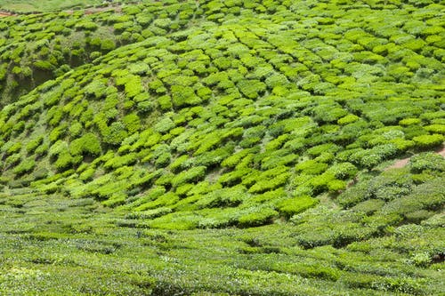 Immagine gratuita di piantagione, piantagione di tè, tè