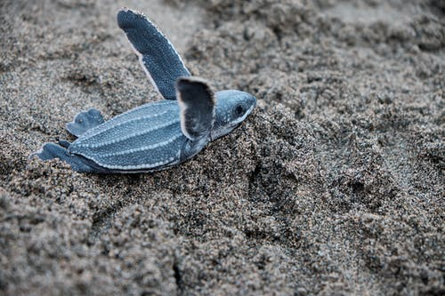 A Blue Sea Turtle