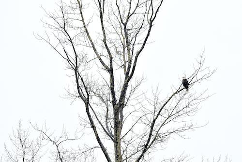 Free stock photo of eagle bird solo tree winter