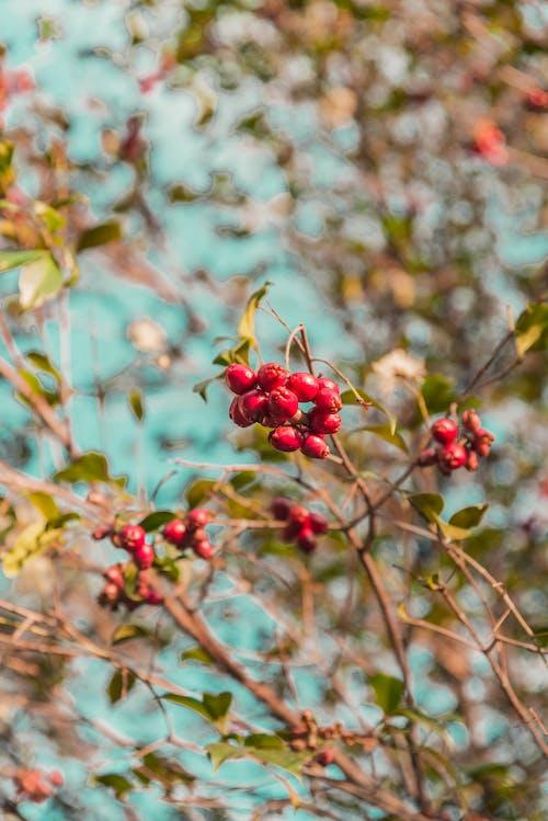 Foto profissional grátis de arte da flor, árvore de maçã, frutas vermelhas, macieira