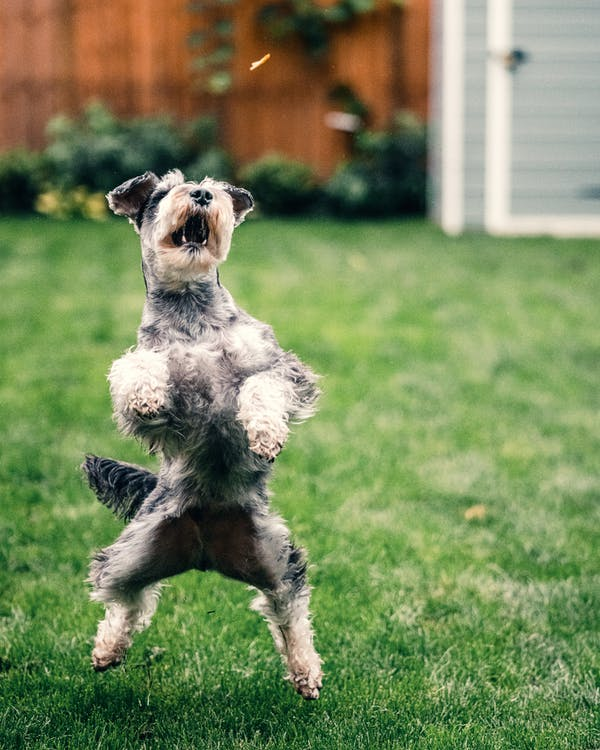 Grey and White Miniature Schnauzer Running on Green Grass Field