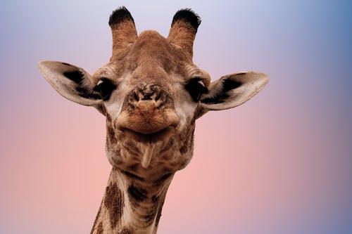 Foto d'estoc gratuïta de animal salvatge, girafa, safari, viatjar