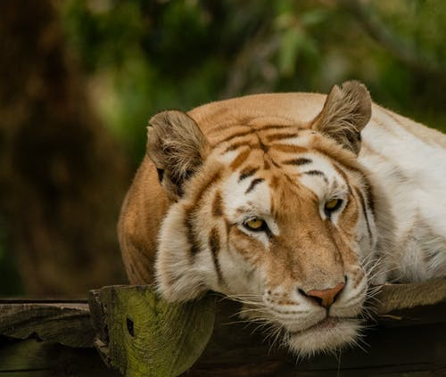 Foto d'estoc gratuïta de animal salvatge, safari, tigre, viatjar